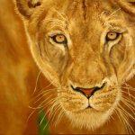 Супруга царя зверей,холст,масло,40х50,в раме,2011г. _Олег М. Караваев
