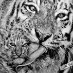 Тигриная забота, А3, графитовые карандаши, 2014 - Негода Евгения