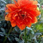 Фотография-Фото-Цветы,цветочный натюрморт,заказать картину-Георгины-Хризантемы