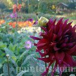 Фото-Цветы-заказать картину,Георгины осенью