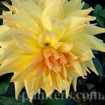 Фото-Георгины,Жёлтые Цветы,заказать картину,цветочный пейзаж,натюрморт,живопись маслом