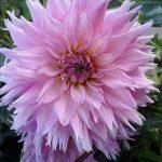 Фото-Георгины,Цветок,заказать картину,цветочный пейзаж,натюрморт,живопись маслом