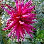 Фото-Георгины,Цветы,заказать картину,цветочный пейзаж,натюрморт