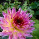 Фотография-Георгины розовые,Цветы,заказать картину,цветочный пейзаж,натюрморт,живопись маслом