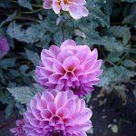 Фото-Георгины розовые-фиолетовые,Цветы,заказать картину,цветочный пейзаж,натюрморт,живопись маслом