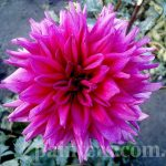Фото-Георгины, цветок,Цветы,заказать картину,цветочный пейзаж,натюрморт,живопись маслом