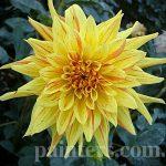 Фото-Желтые цветы-георгины,натюрморт,пейзаж