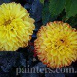 Фотография-Желтые цветы-георгины,натюрморт,пейзаж...