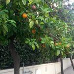 Апельсиновые деревья на улицах Афин