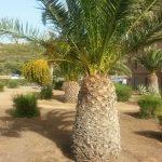 Пальмы стрижены под ананас