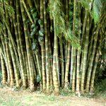 Бамбук-Великолепие Шриланкийской флоры