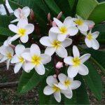 Цветы Шри Ланки..