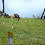 Как и у нас пасутся коровки