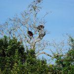 Павлины оказывается и на деревьях отдыхают