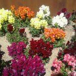 Цветы, цветы,цветы... Монтсеррат