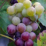 Виноград душистый