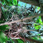 Гнездо Жуланов (Сорокопутов) в нашем фальш-заборе