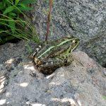 Озёрная лягушка на усадьбе Караваева