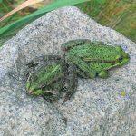 Озёрные лягушки,прижившиеся в нашем пруду