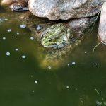 Прудовая лягушка,Пейзажи усадьбы Караваева