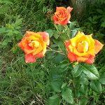 Розы двухцветные