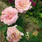Розы прекрасные