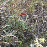 Шафранка красная - редкий в Украине вид