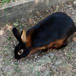 Гуцульский кролик