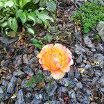 Роза гуцульская