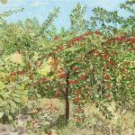 Вишня в саду_холст_масло_45х60_Яровая Елена